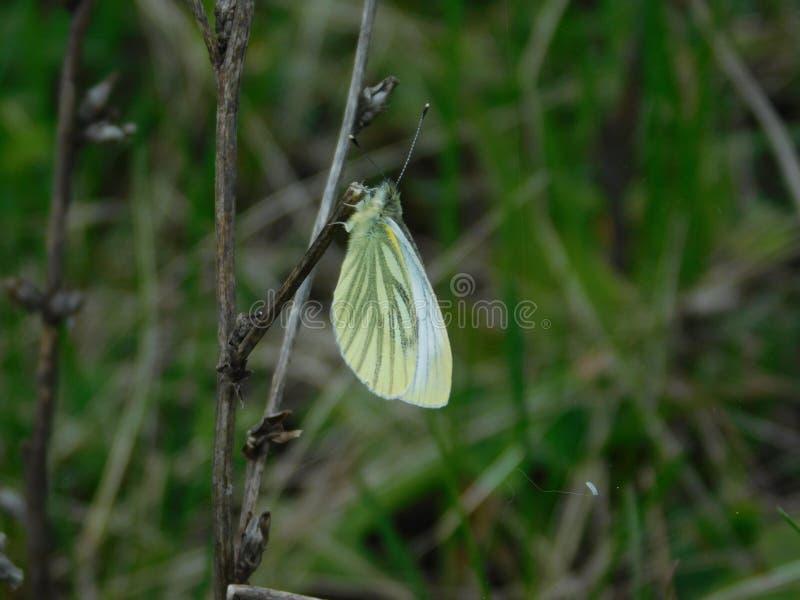 Grüner Schmetterling - Teil der grünen Welt stockfotografie