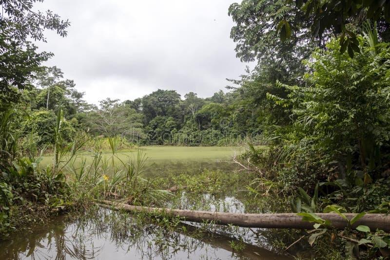 Grüner See mitten in bolivianischem Regenwald, Nationalpark Madidi im der Amazonas-Becken in Bolivien lizenzfreie stockfotografie