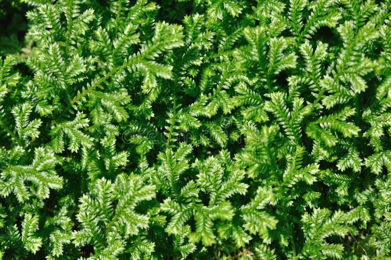 Grüner Selaginella lizenzfreies stockbild
