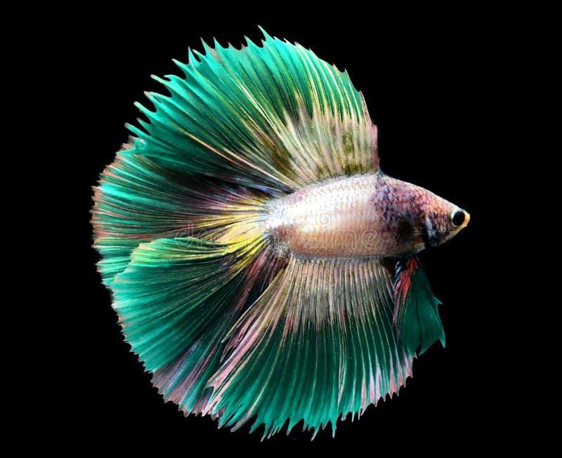 Grüner Siamesischer Kampffisch auf blauem Hintergrund stockfotografie