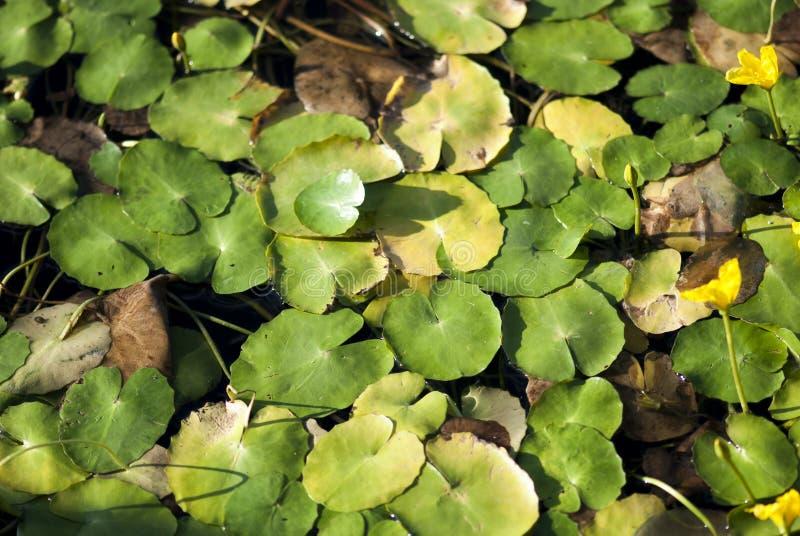 Grüner Sommer Lily Pads stockfoto