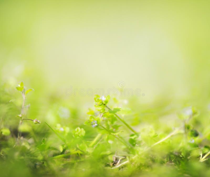 Grüner Sommer- oder Frühjahrnaturhintergrund mit wild wachsenden Pflanzen und kleinen Blumen, Weichzeichnung stockfotografie