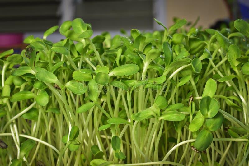 Grüner Sonnenblumensprössling, der zu Hause vom Samen wächst stockfotografie