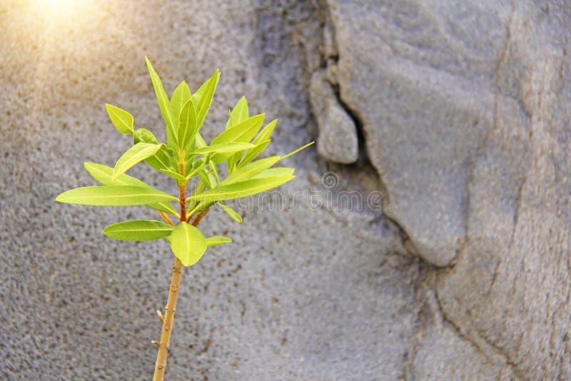 Grüner Sprössling auf dem Hintergrund von Gray Stone Schlucht von Alcantara Die Insel von Sizilien, Italien Platz für Text lizenzfreie stockfotografie