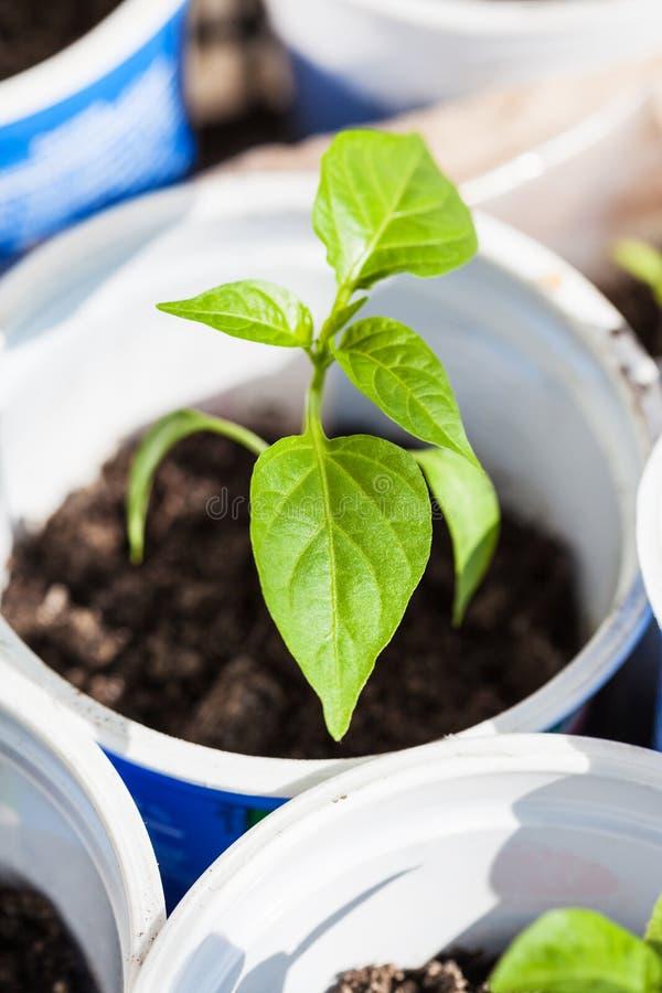 Grüner Sprössling der Anlage des grünen Pfeffers im Kunststoffrohr stockfotos