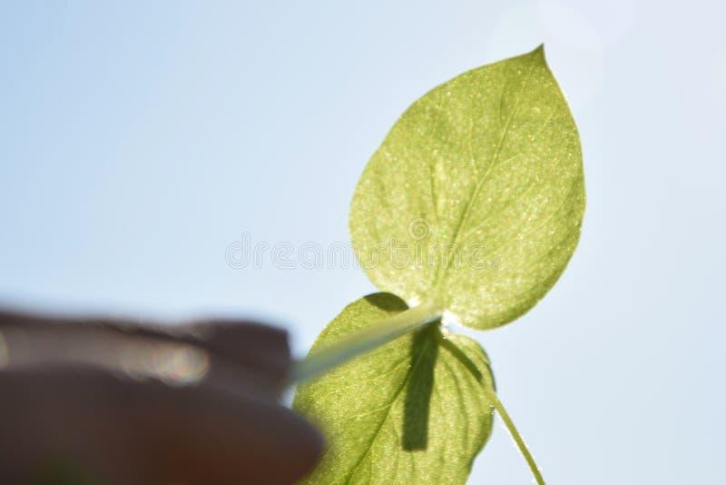 Grüner Sprössling in der Hand auf dem Himmelhintergrund stockfoto