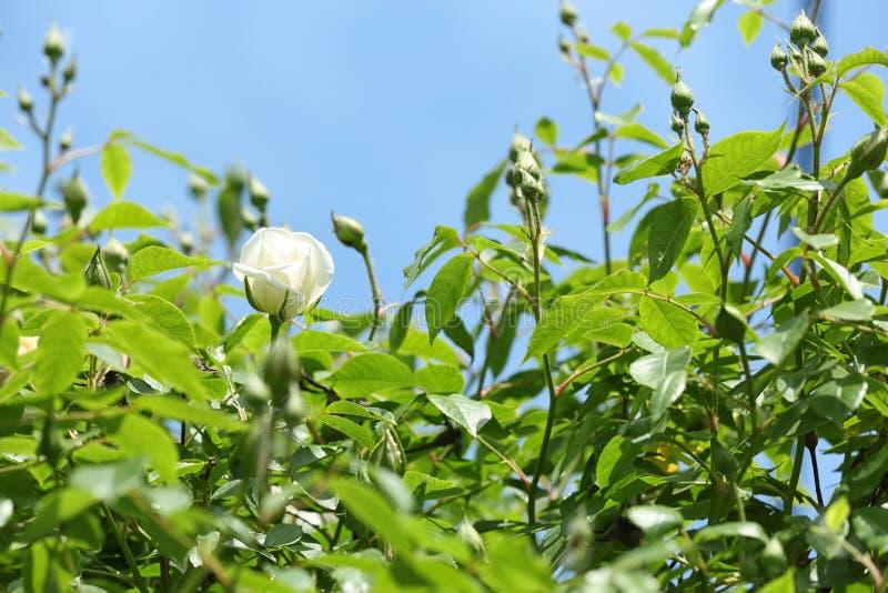 Grüner Strauch mit schöner blühender Rose im Garten am sonnigen Tag stockfoto