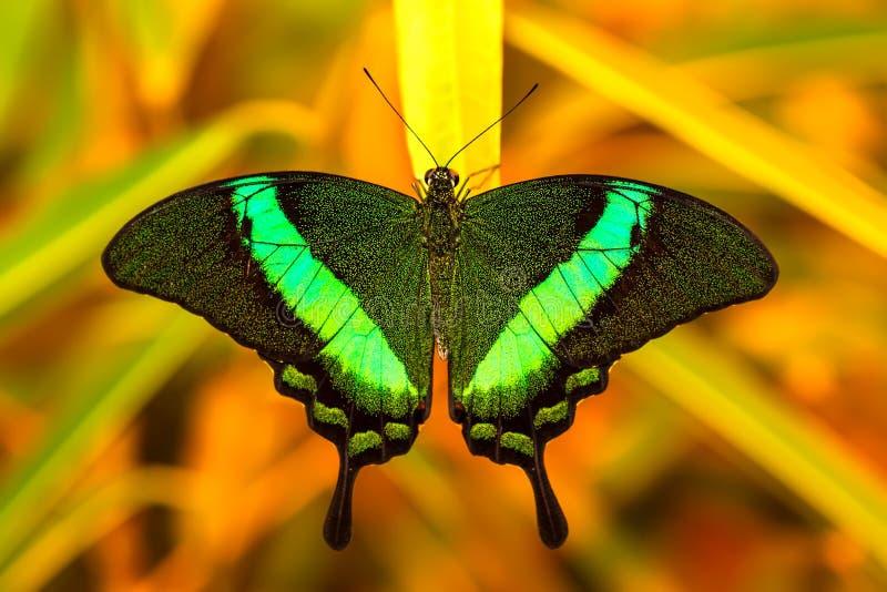 Grüner swallowtail Schmetterling, der auf einem Blatt stillsteht stockfotos