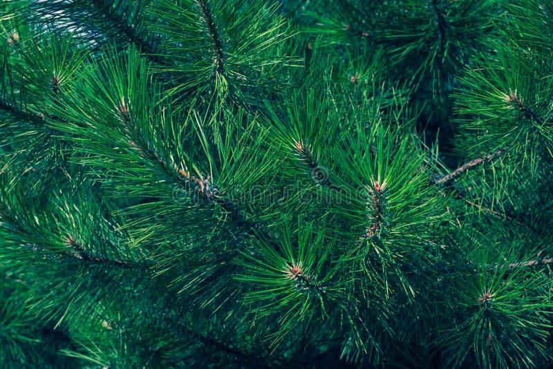 Grüner Tannenzweig eines Weihnachtsbaums Koniferennadelnahaufnahme Kiefer-Baum Hintergrund Schottische Tanne stockbilder