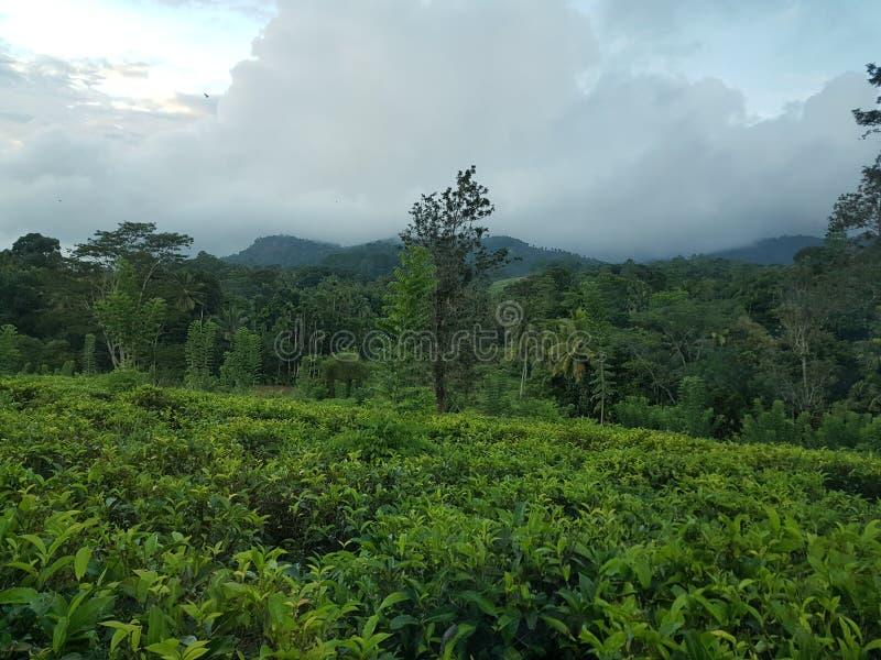 Grüner Tee-Plantagen Ceylons lizenzfreie stockfotografie