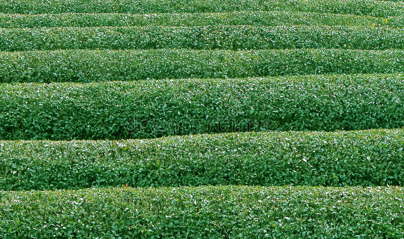 Grüner Tee texture2 lizenzfreie stockbilder
