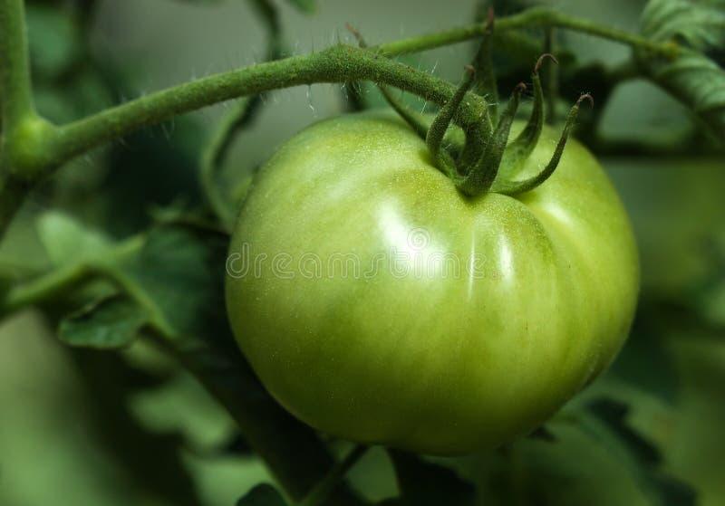 Grüner Tomatengarten stockfoto