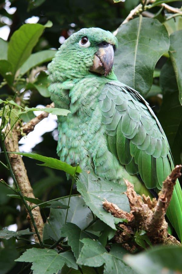 Grüner Tropischer Papagei Lizenzfreie Stockbilder