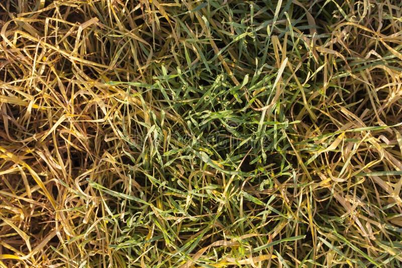 Grüner und gelber Weizen stockbild