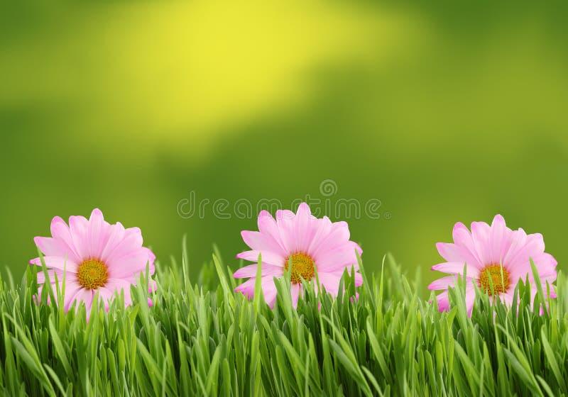 Grüner und rosafarbener Gänseblümchenhintergrund oder -rand stockbild
