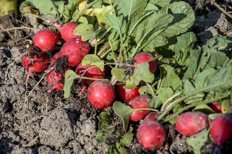 Grüner und roter Rettich der Weinlese stockbilder