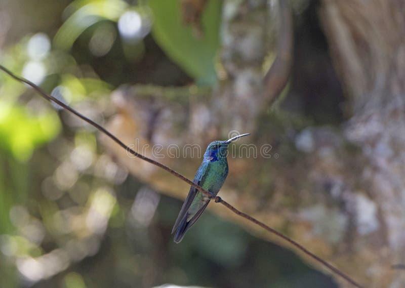 Grüner violetter Ohrkolibri stockfotos