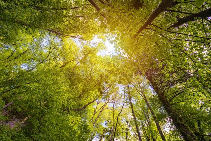 Grüner Wald Baum mit Grün Blättern und Sonneleuchte E Schuss des niedrigen Winkels lizenzfreie stockfotografie