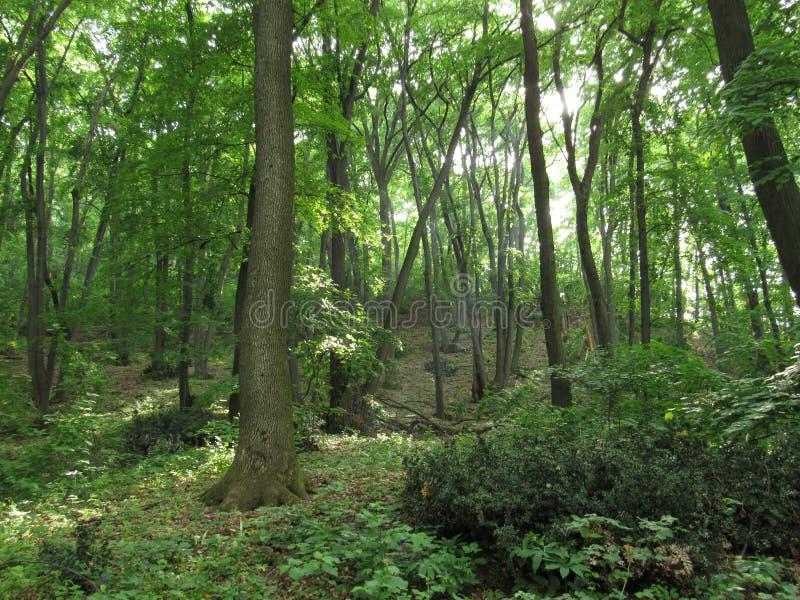 Grüner Wald im Frühjahr stockbilder