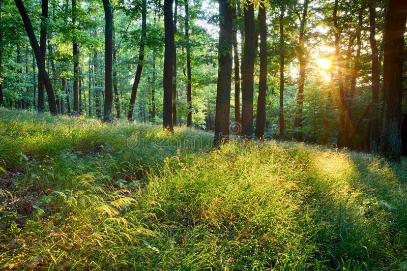 Grüner Wald mit Sonne und Strahlen lizenzfreies stockbild
