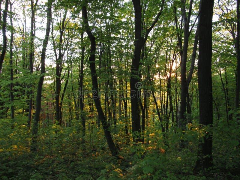 Grüner Wald während des Sonnenuntergangs stockfotografie