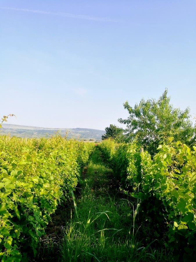 Grüner Wein stockbild