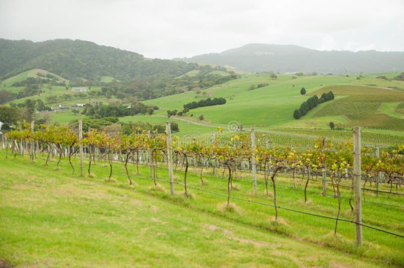 Grüner Weinberg mit dem nebeligen Bergblickhintergrund stockfoto