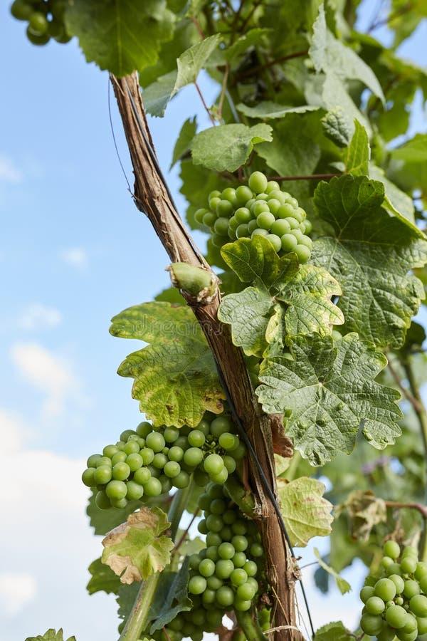 Grüner Weinstock und Trauben mit Sonne und blauem Himmel lizenzfreies stockfoto