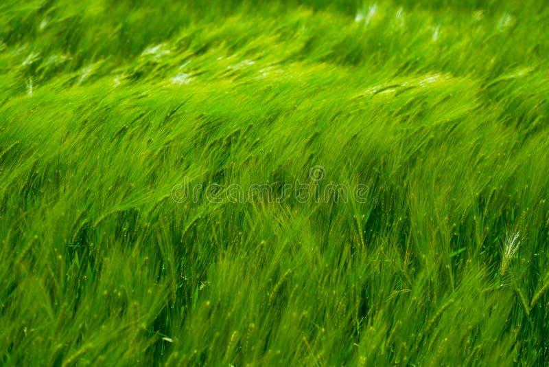 Grüner Weizen auf dem Feld im Wind lizenzfreie stockfotografie