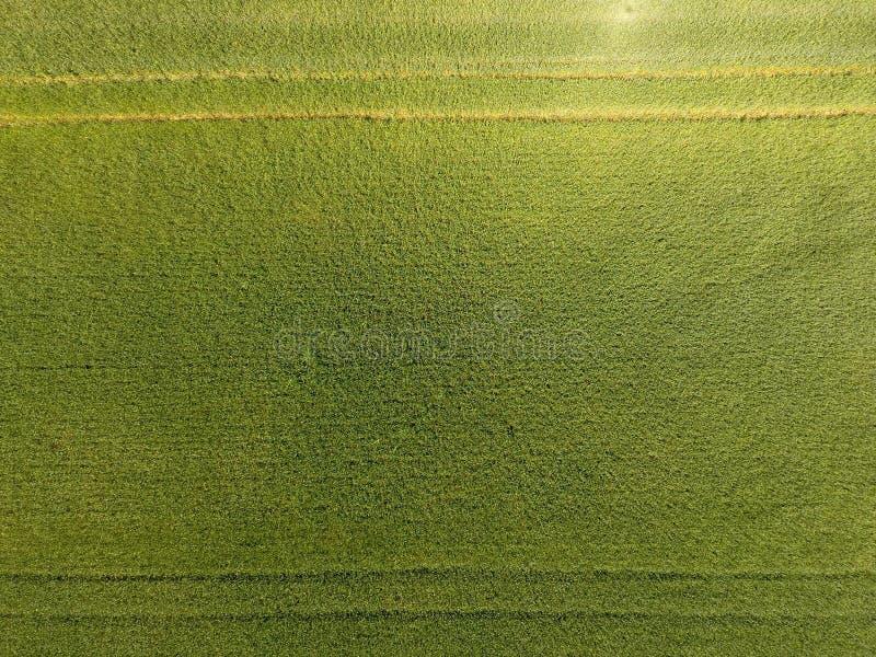 Grüner Weizen auf dem Gebiet, Draufsicht mit einem Brummen Beschaffenheit des Weizengrünhintergrundes stockbilder
