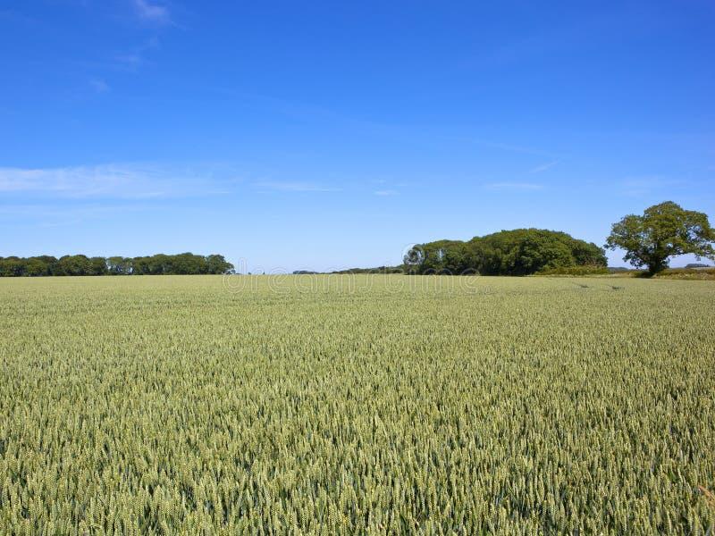 Grüner Weizen erntet mit Bäumen und Hecken in der Sommerzeit lizenzfreies stockbild