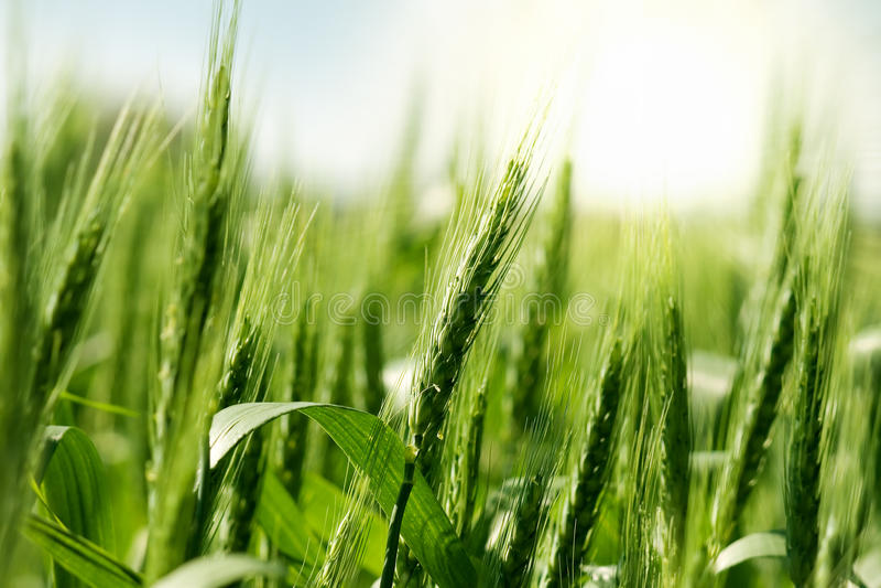 Grüner Weizen im Sonnenlicht lizenzfreie stockbilder