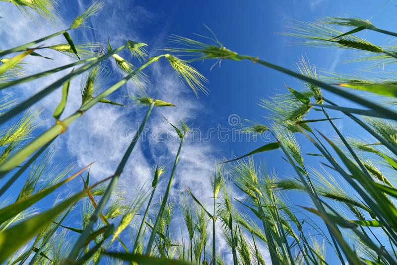 Grüner Weizenbetriebshimmel stockfotografie