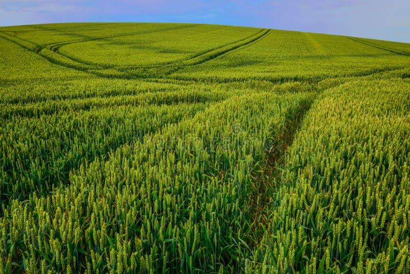 Grüner Wheatfield mit Linie Muster von den Fahrzeugbahnen stockbild