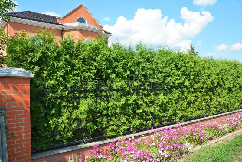 Grüner Zaun mit getrimmtem grünem Thuja und dem geschweißten Draht-Fechten stockfotografie