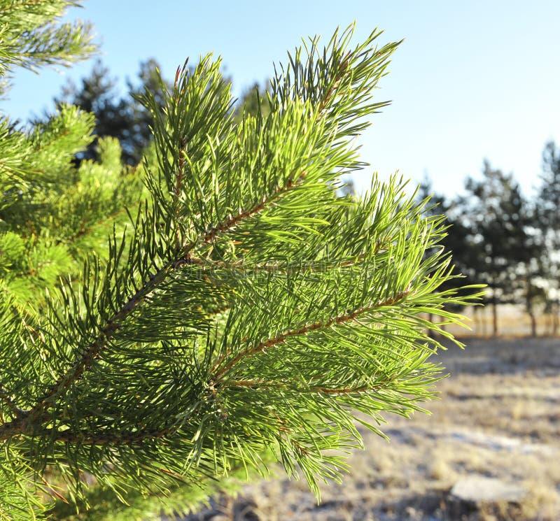 Grüner Zweig der Kiefers stockfotos
