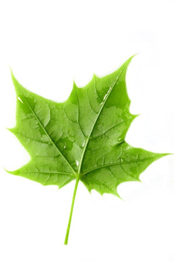 Grünes Ahornblatt stockbild
