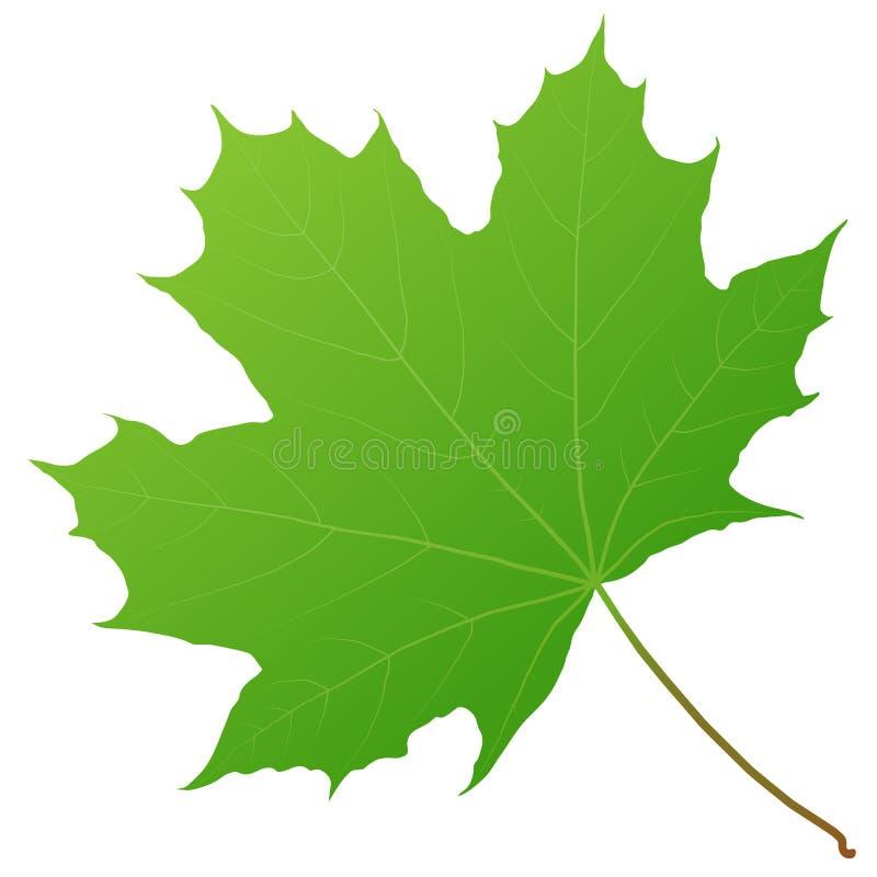 Grünes Ahornblatt lizenzfreie abbildung