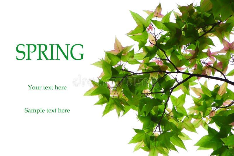 Grünes Ahornblatt auf weißem Hintergrund lizenzfreies stockfoto