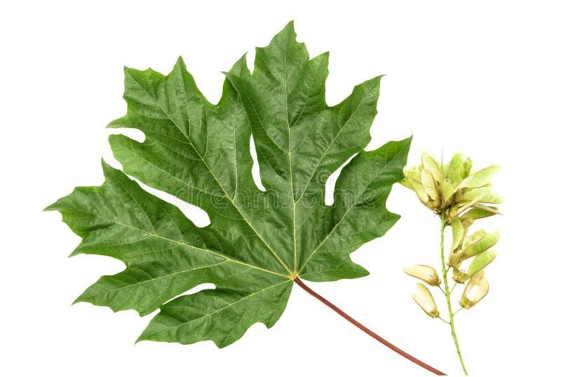Grünes Ahornblatt und Startwerte für Zufallsgenerator stockfoto