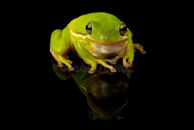 Grünes Baum-Frosch-Studio-Porträt stockbilder