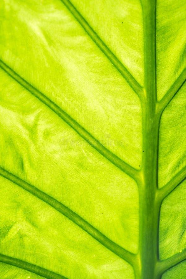 Grünes Baumblatt mit Ader stockfoto