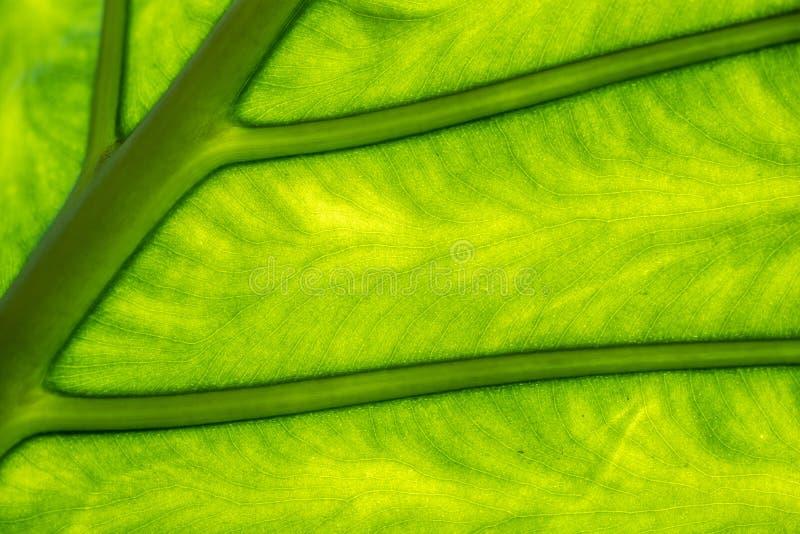 Grünes Baumblatt mit Ader lizenzfreie stockfotos