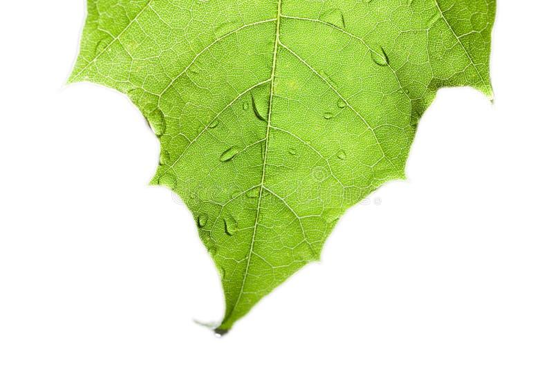 Download Grünes Blatt. stockbild. Bild von wasser, flora, nave - 26352137