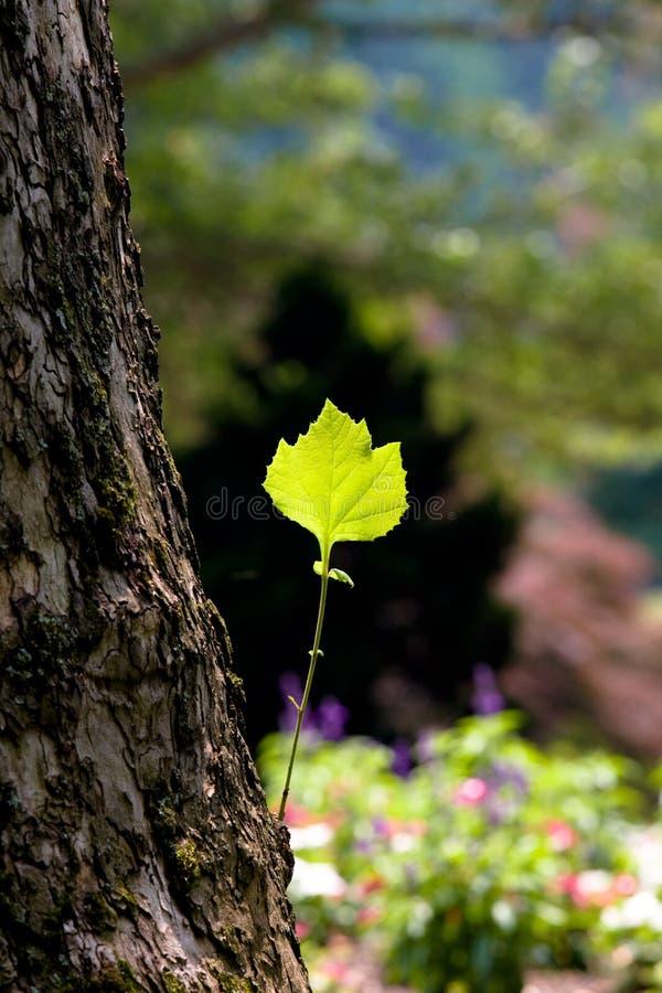 Grünes Blatt auf einem Baumkabel stockbild