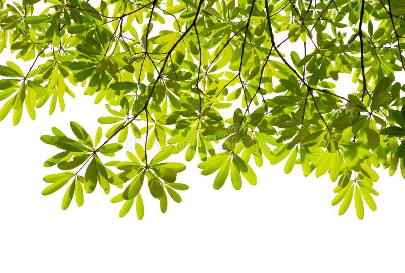 Grünes Blatt auf weißem Hintergrund stock abbildung