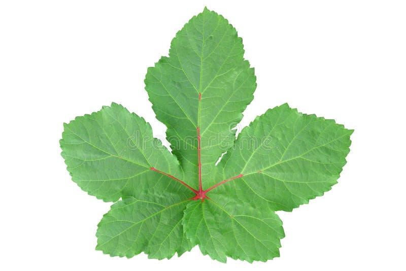 Grünes Blatt in der Ahornform mit der roten Ader lokalisiert auf weißem Hintergrund lizenzfreie stockfotos