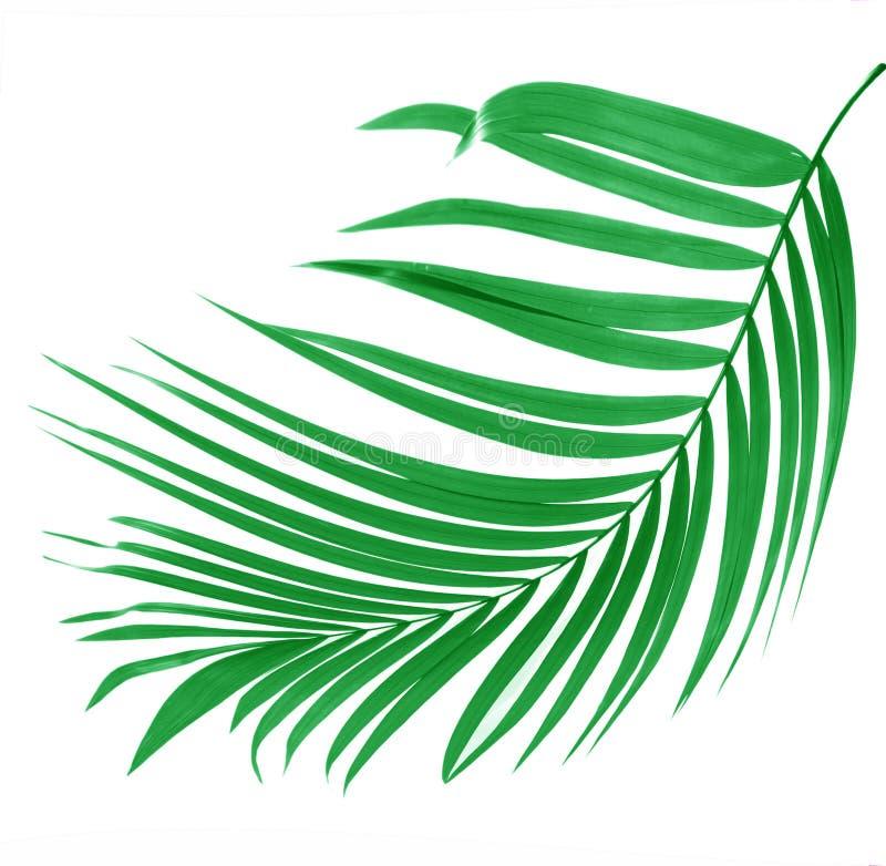 Grünes Blatt der Palme lizenzfreies stockfoto