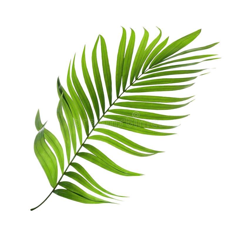 Grünes Blatt der Palme lokalisiert auf Weiß stockfotografie