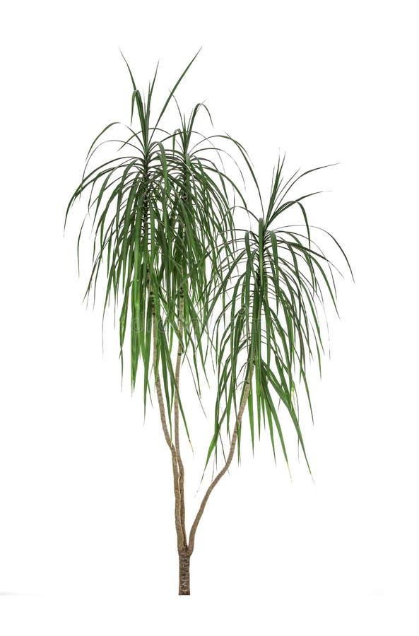Grünes Blatt der Palme trennte lizenzfreie stockfotos